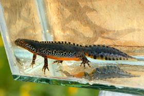 salamander-i-akvarium 280pxjpg